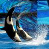 The Dolphin's Show at SeaWorld Orlando, Florida - USA
