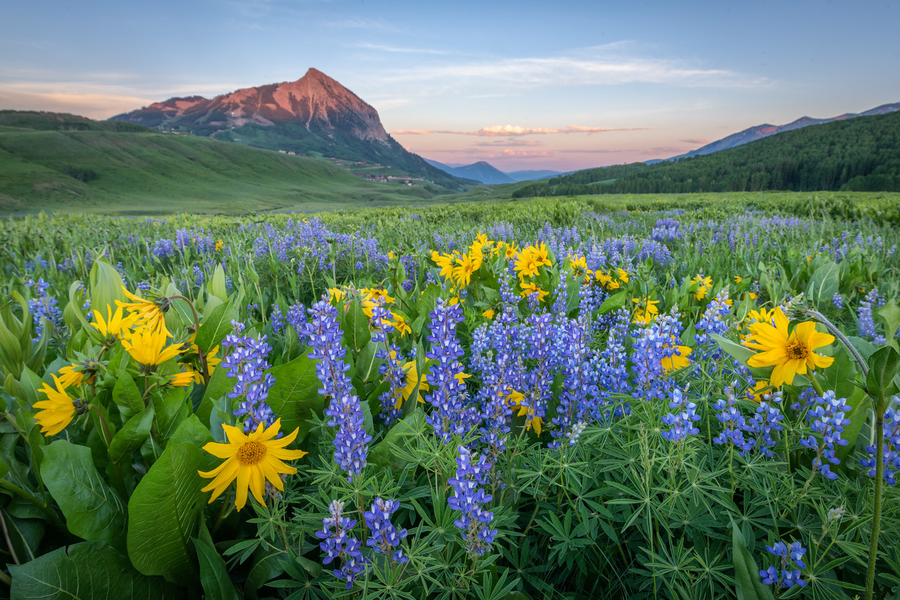 Washington Gulch Lupine and Sunflowers