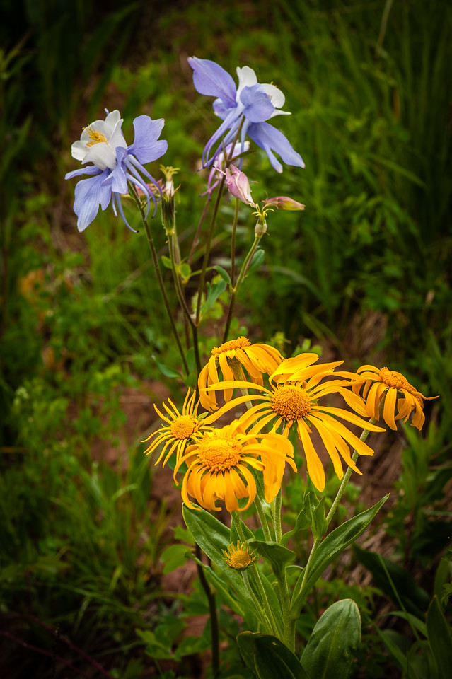 Columbines and Sneezeweed