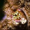 Coral Hermit Crab, Wakatobi, Indonesia