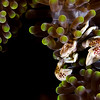 Anemone Crab, Raja Ampat, Indonesia