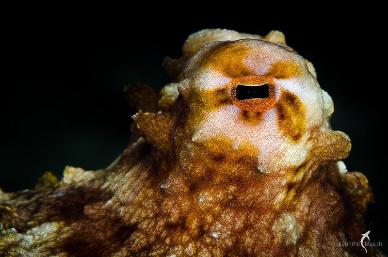 Reef Octopus, Wakatobi, Indonesia