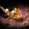 Squat Shrimp, Dauin, Philippines
