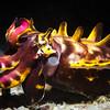 Flamboyant Cuttlefish, Bohol, Philippines