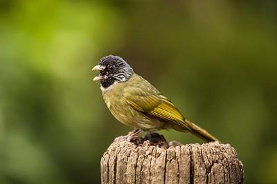Collared Finchbill