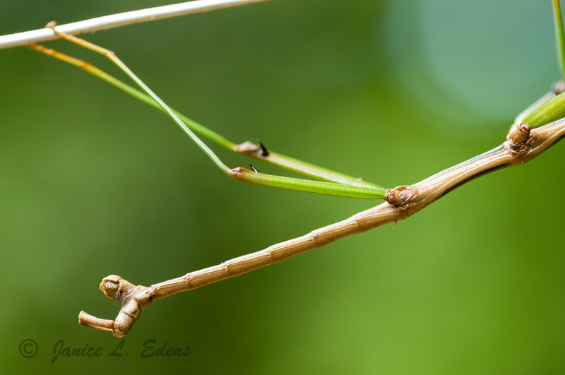 """Walking Stick"""