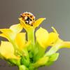 """""""Ladybug on  Kalanchoe Blossom"""""""