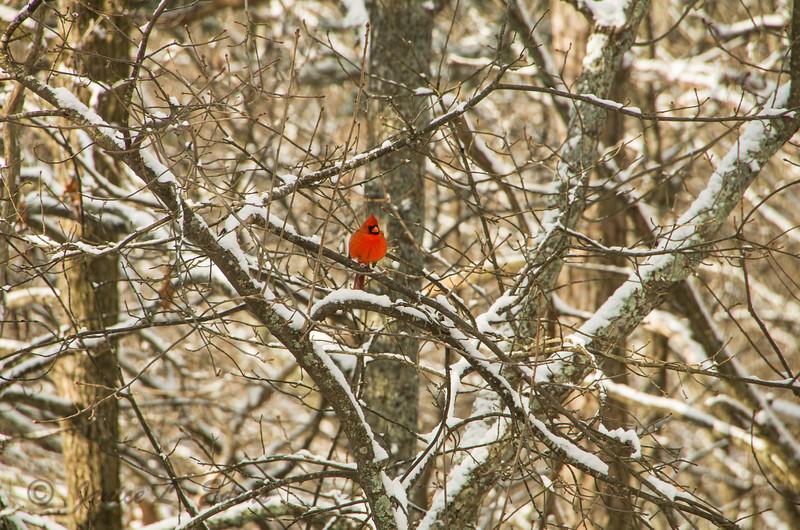 """""""Cardinal on a Snowy Day"""""""