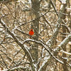 """Cardinal on a Snowy Day"""