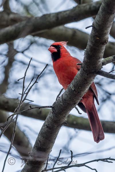 """""""Waiting Cardinal"""""""