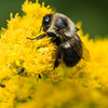 """Bumblebee Enjoying Goldenrod"""
