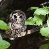 """Immature Barred Owl"""