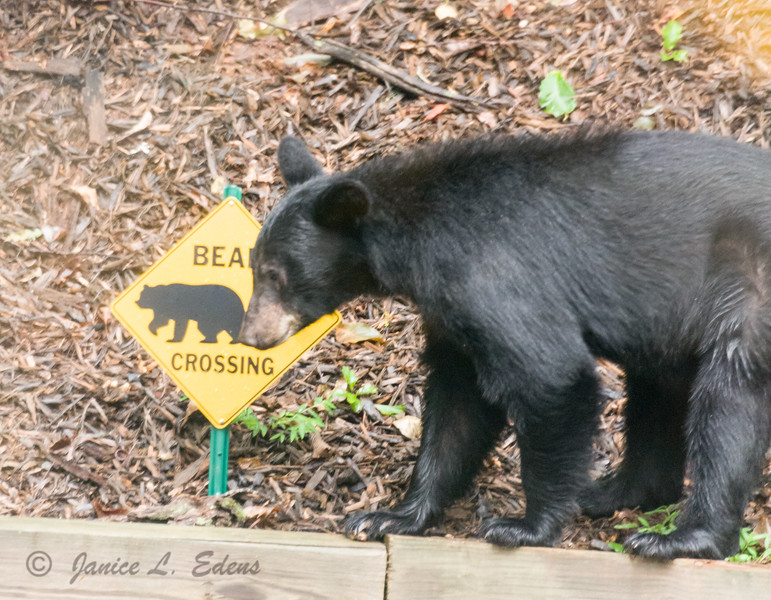 """Bear Crossing"""