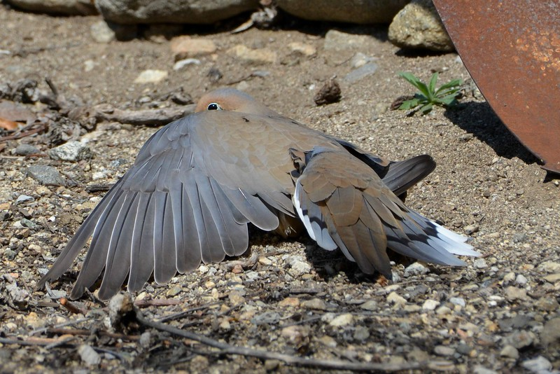 mourning dove,