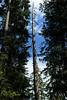 Silver Fir (Abies alba) - the living and the dead.