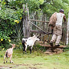 Farmer and his three goats entering his farm  near Baracoa