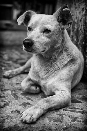 Dog, Havana