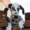 Friendly Dalmatian hiding behind brick wall
