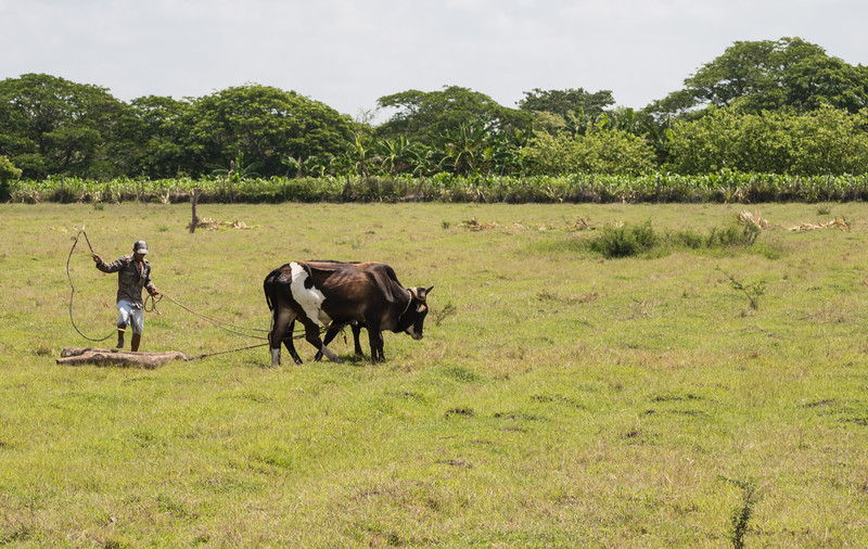Farmer working his field with a pair of oxen
