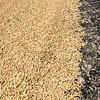 Freshly harvested rice drying on a road