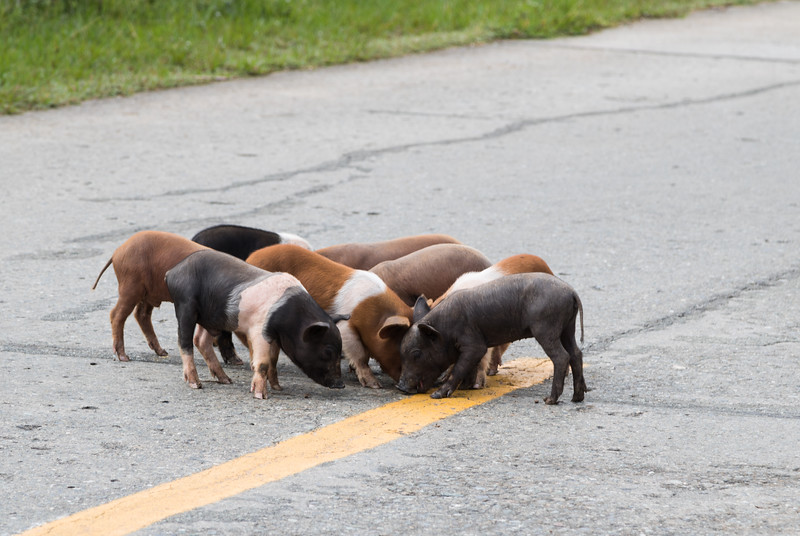 Eight piglets in the middle of the road, outside of Baracoa