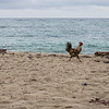 A rooster  strutting on an Atlantic beach. Close to Baracoa