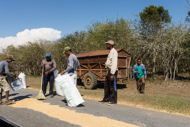 Workers collecting rice dried on a road