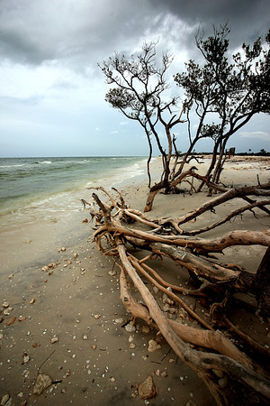 Dead mangrove on the beach, Honeymoon Island State park, Pinellas County Florida.