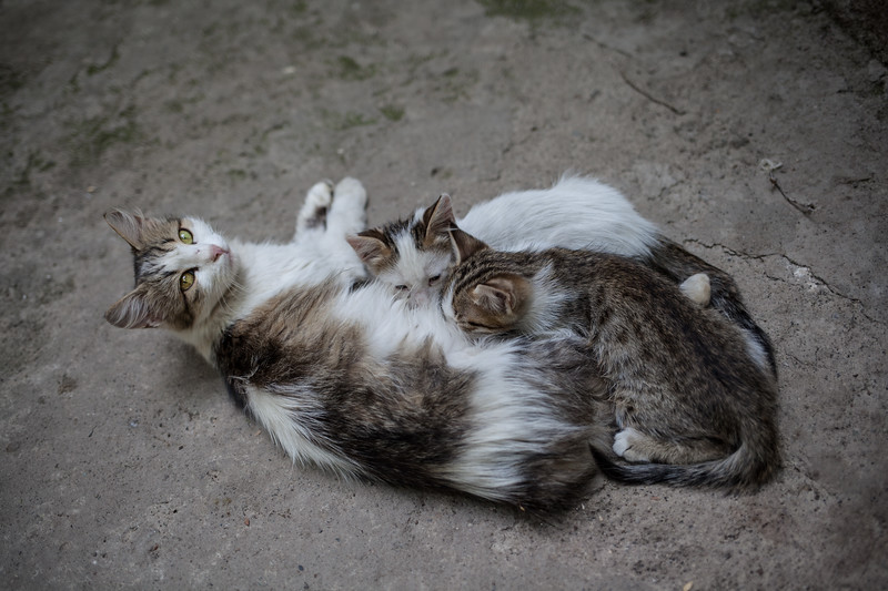 Turkish cat family, Turkey