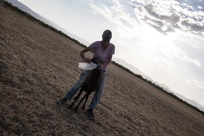 Farmer treating one of his sheep, Turkey