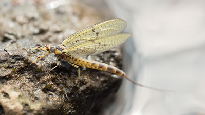Mayfly on DCAL Stocked Loughs Fermanagh