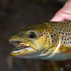 Stocked brown trout takes a mayfly on DCAL Fermanagh Lakes
