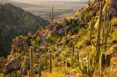 Hiking through a Saguaro forest in the Pusch Ridge Wilderness in southern Arizona.