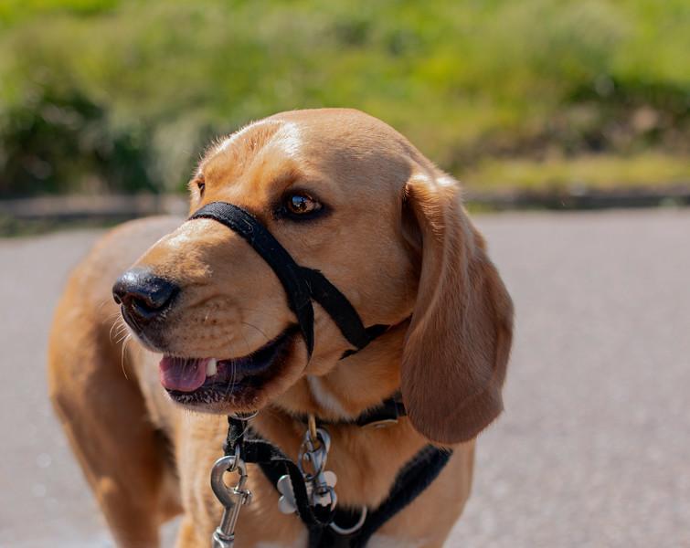 Beagle lab Cross.jpg