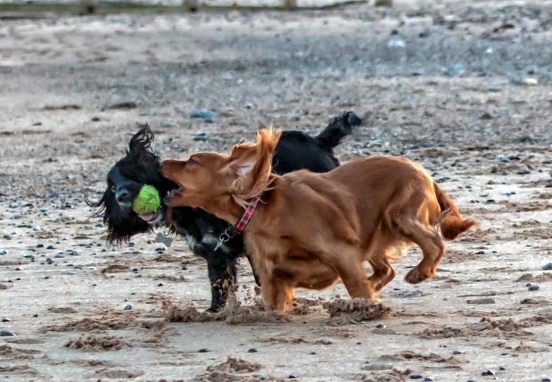 spaniels having fun.jpg