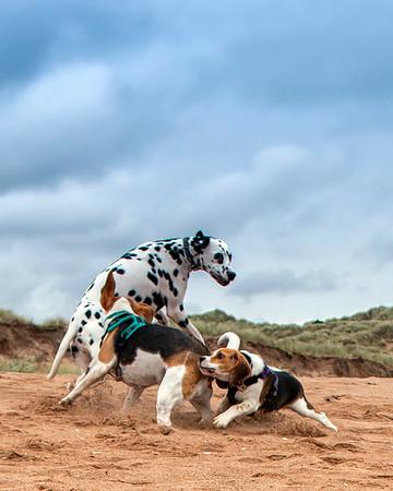 Dalmation and Beagles having fun