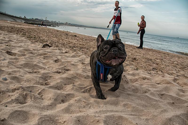 Aberdeen Beach French Bulldog 1.jpg