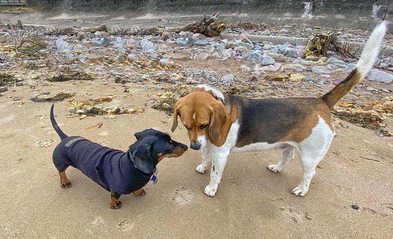miniature dachshund &and the beagle.jpg