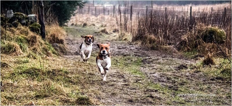 Beagles 2.jpg