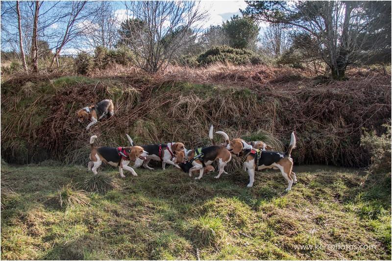 Beagles 3.jpg