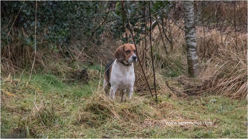 Beagles 15.jpg