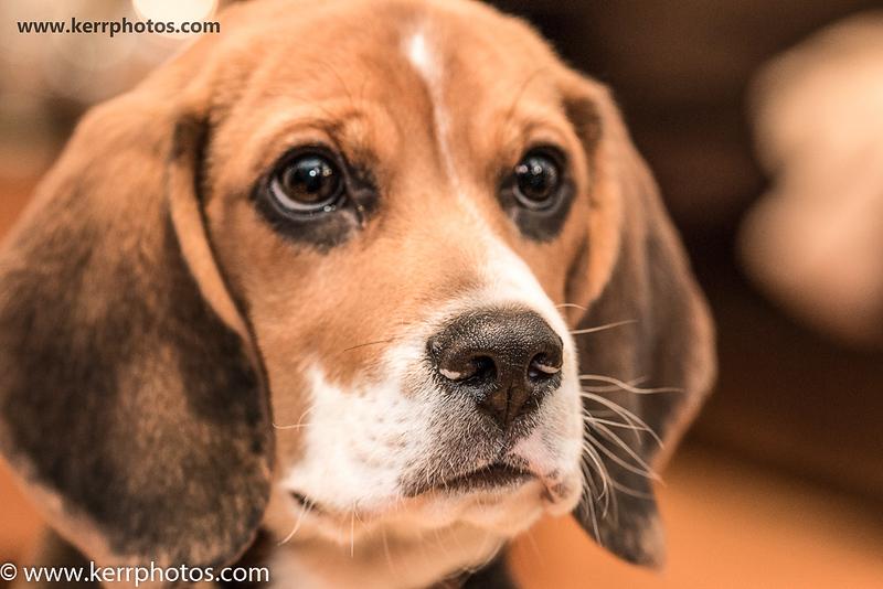 Ozzie The Puppy Beagle.jpg