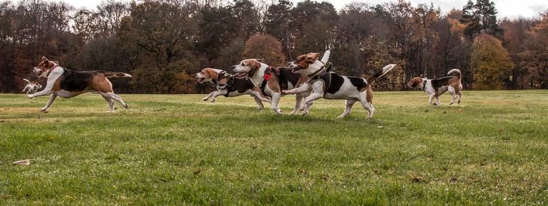 Beagle Bums Run.jpg