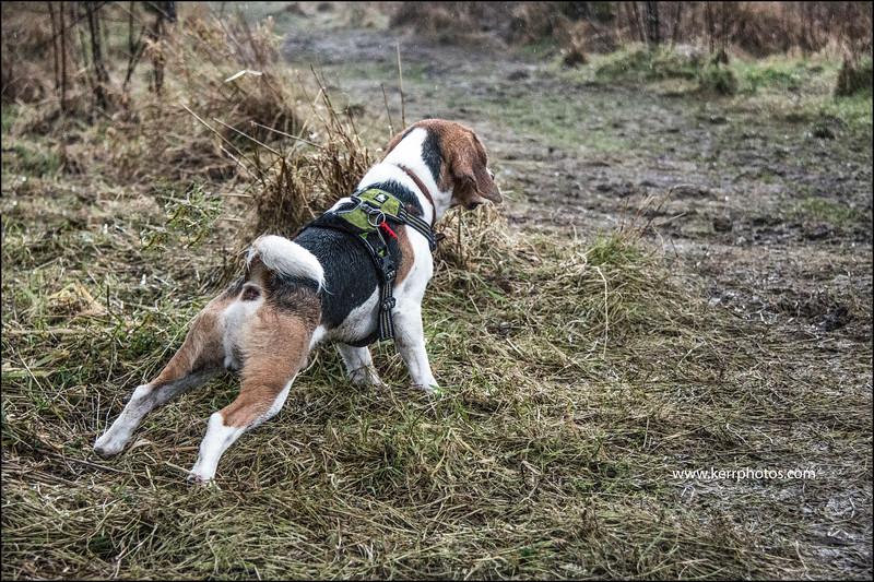 Beagles 7.jpg