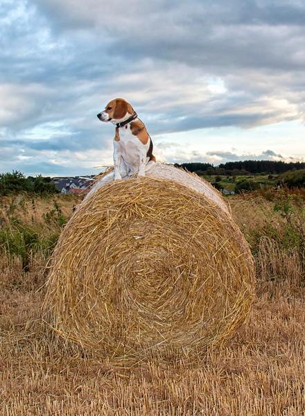 Ozzie on top of straw rack.jpg