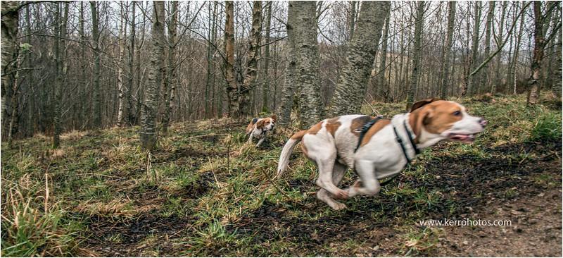 Beagles 11.jpg