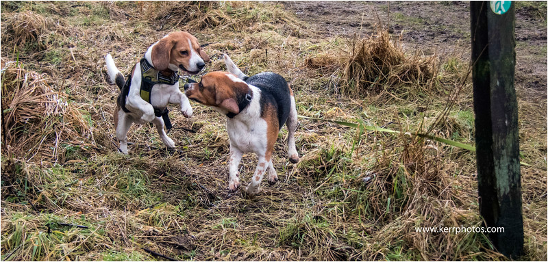 Beagles 4.jpg