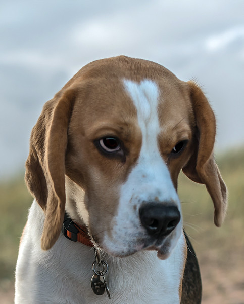 Beagle Head.jpg