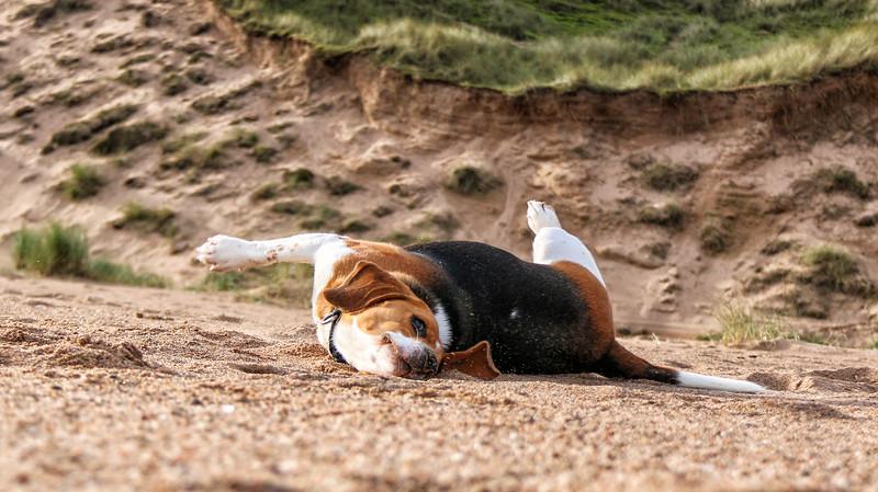 Ozzie rolling n the beach.jpg