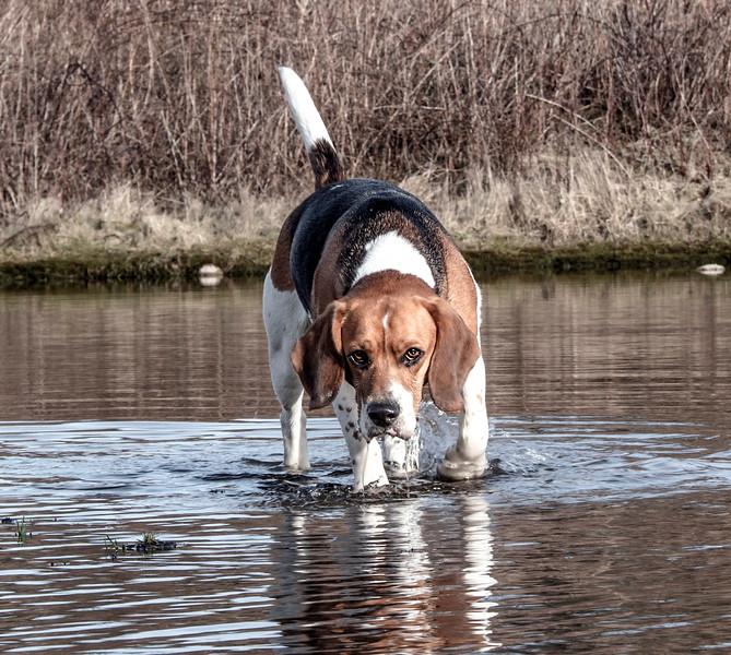 The Beagle.jpg